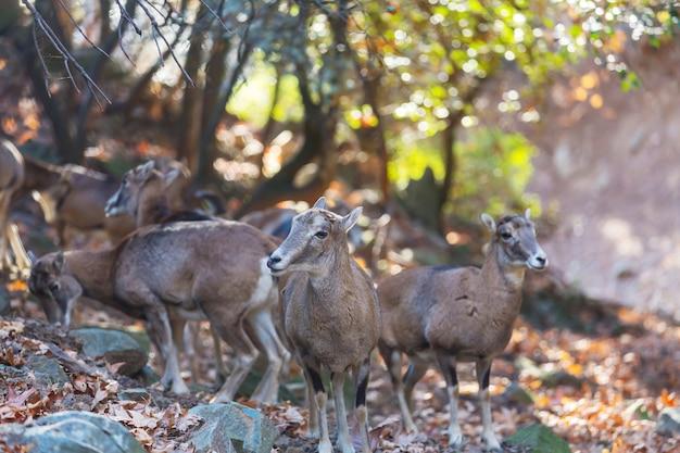Dziki muflon w lesie na cyprze