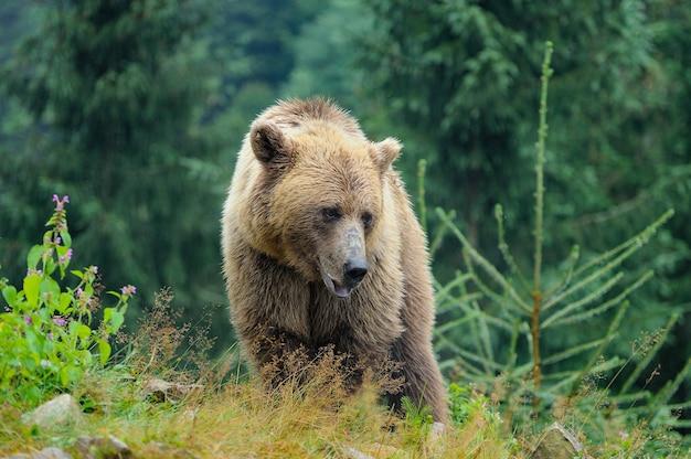 Dziki niedźwiedź brunatny ursus arctos w lesie. dzikie zwierze .