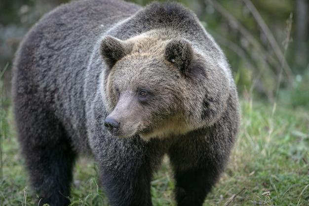 Dziki niedźwiedź brunatny w lesie