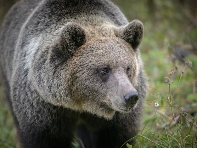 Dziki niedźwiedź brunatny w naturalnym środowisku. wysokiej jakości zdjęcie