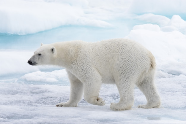 Dziki niedźwiedź polarny idzie w wodzie na lodzie paczki w morzu arktycznym