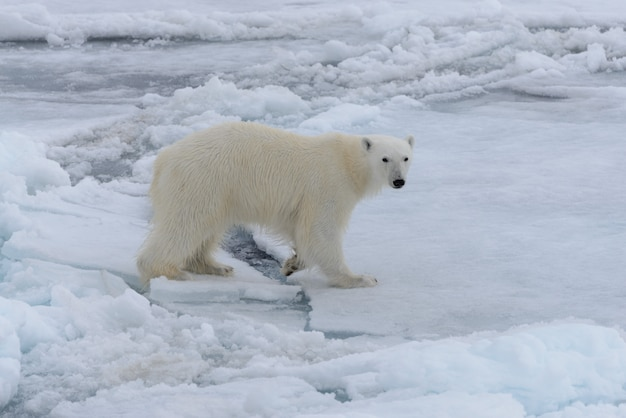 Dziki niedźwiedź polarny na lodzie pack na morzu arktycznym