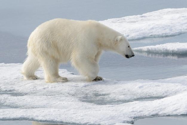 Dziki niedźwiedź polarny na lodzie w arktyce