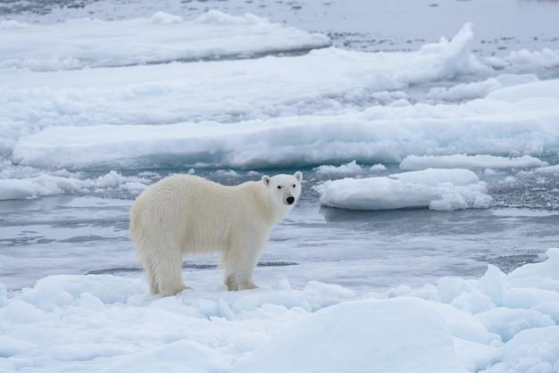 Dziki niedźwiedź polarny na lodzie w morzu arktycznym