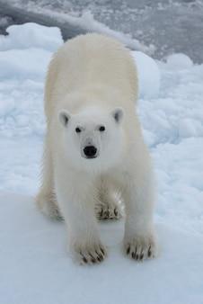 Dziki niedźwiedź polarny na paczce lodzie w morzu arktycznym patrzeje w kamerę