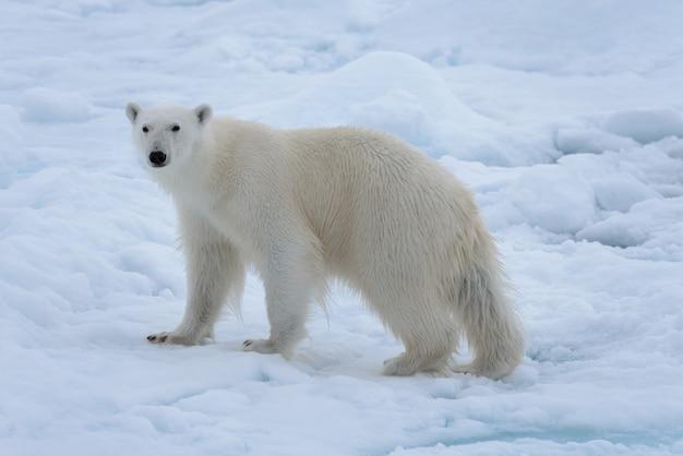 Dziki niedźwiedź polarny na paczka lodzie w morza arktycznego zakończeniu up