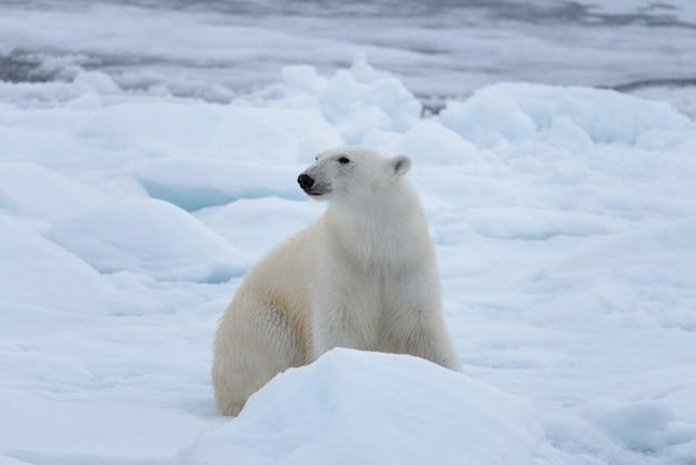 Dziki niedźwiedź polarny siedzi na lodzie pack