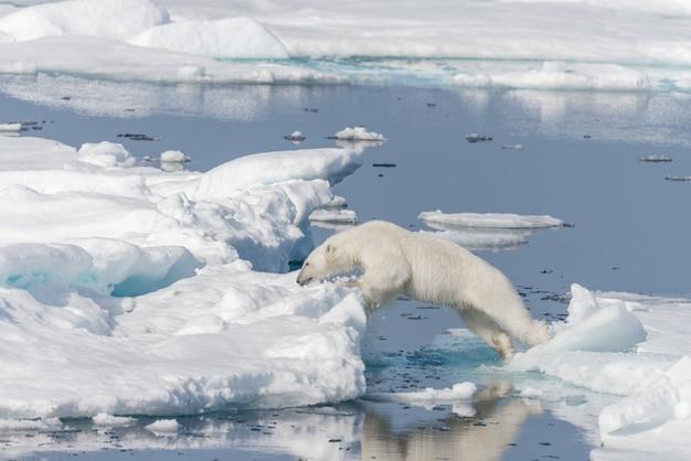 Dziki niedźwiedź polarny skacze przez kry na północ od svalbard w arktycznej norwegii
