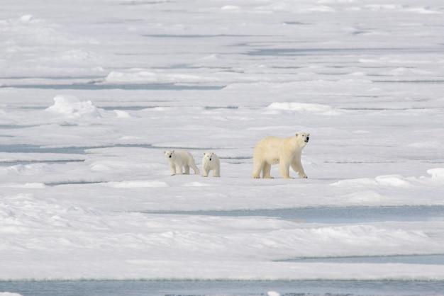 Dziki niedźwiedź polarny ursus maritimus mama i młode na paczce