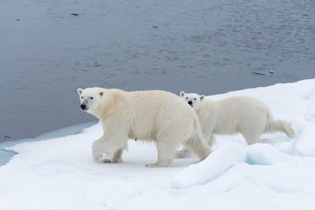 Dziki niedźwiedź polarny (ursus maritimus) matka i młode na lodzie stada, na północ od svalbard w arktycznej norwegii