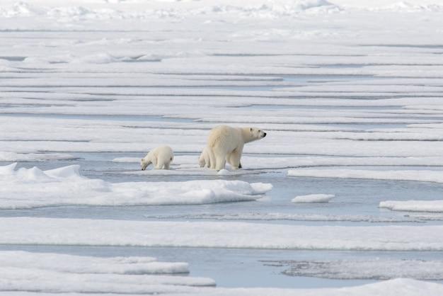 Dziki niedźwiedź polarny (ursus maritimus) matka i młode na lodzie stada