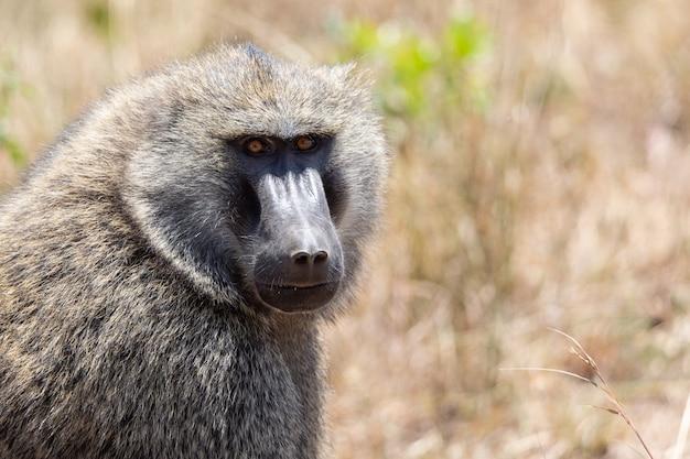 Dziki oliwkowy portret małpa pawiana w park narodowy masai mara, kenia. safari w afryce.