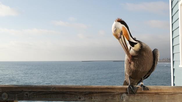 Dziki pelikan brunatny na molo, california ocean beach usa. pelecanus przybrzeżny, duży ptak. duży dziób dzioba