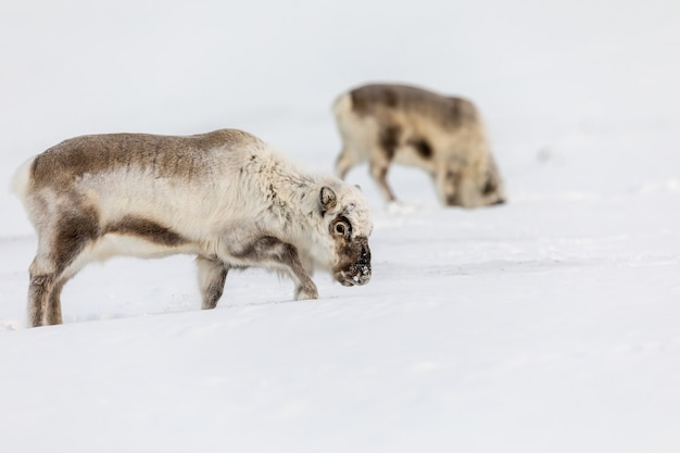 Dziki renifer svalbardzki, rangifer tarandus platyrhynchus, dwa zwierzęta szukające pożywienia pod śniegiem
