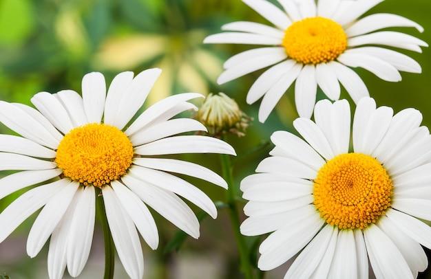Dziki rumianek, białe kwiaty