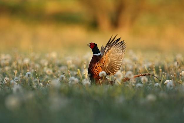 Dziki samiec bażanta w naturze siedlisko nieśmiałe i zagrożone zwierzę zbliżenie dzika przyroda europejska