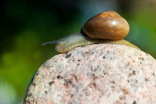 Dziki ślimak zwyczajny