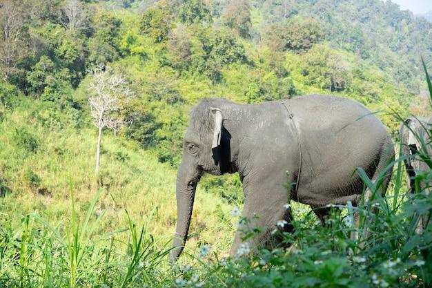 Dziki słoń azjatycki w pięknym lesie.