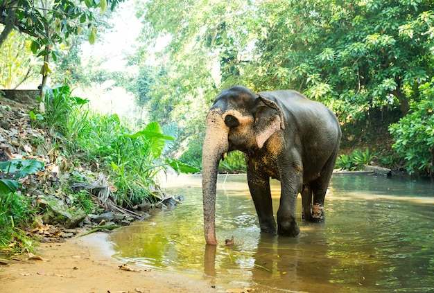Dziki słoń cejloński pije wodę z rzeki w dżungli. przyroda sri lanki