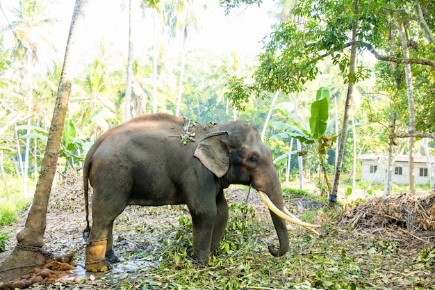 Dziki słoń cejloński w tropikalnej dżungli