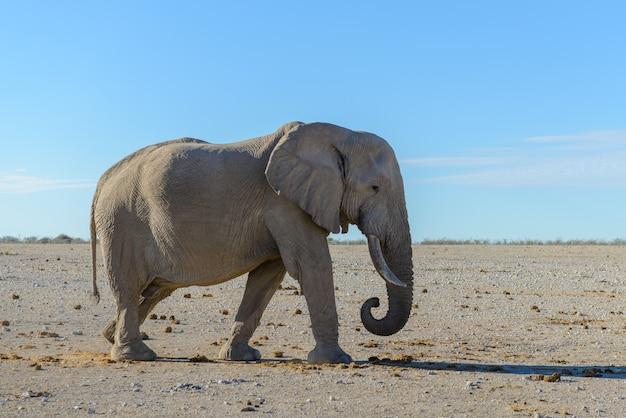 Dziki słoń chodzenie w afrykańskiej sawannie