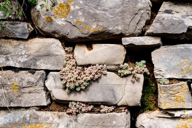 Dziki soczysty rozchodnik rośnie w kamiennej ścianie.