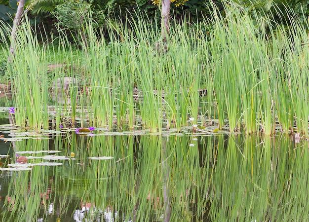 Dziki staw z kwiatami lilii wodnej