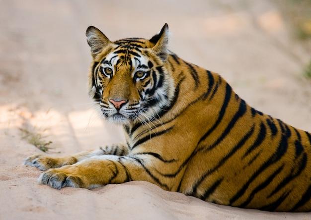 Dziki tygrys bengalski leżący na drodze w dżungli. indie.