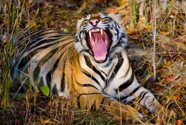Dziki tygrys bengalski leżący na trawie i ziewa indie park narodowy bandhavgarh