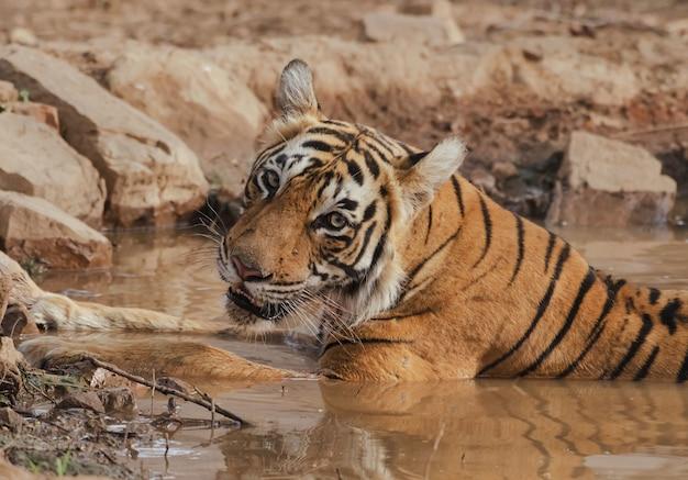 Dziki tygrys leżący w błotnistej wodzie, patrząc w kamerę w ciągu dnia