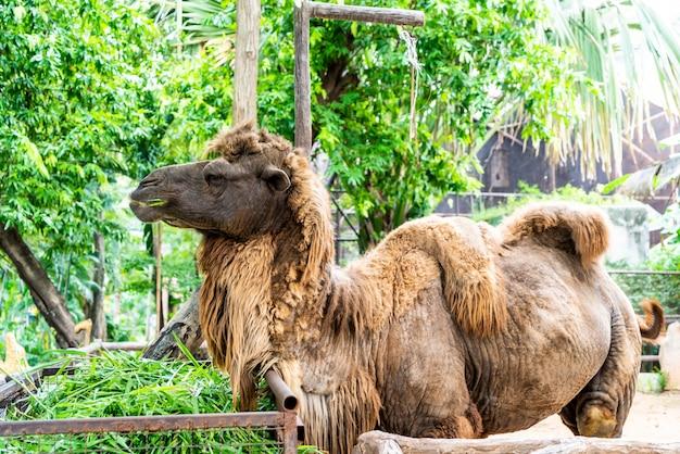 Dziki wielbłąd dwugarbny