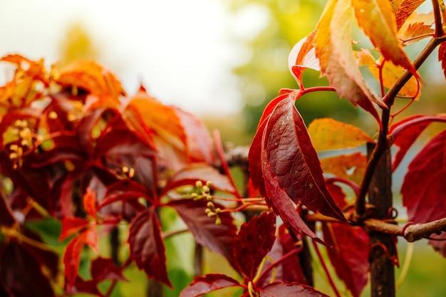 Dziki winorośl, jesień czerwone liście na słońcu
