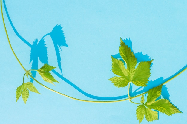 Dziki winorośli na niebiesko