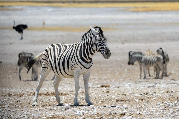 Dziki zebry odprowadzenie w afrykańskim sawanny zakończeniu up