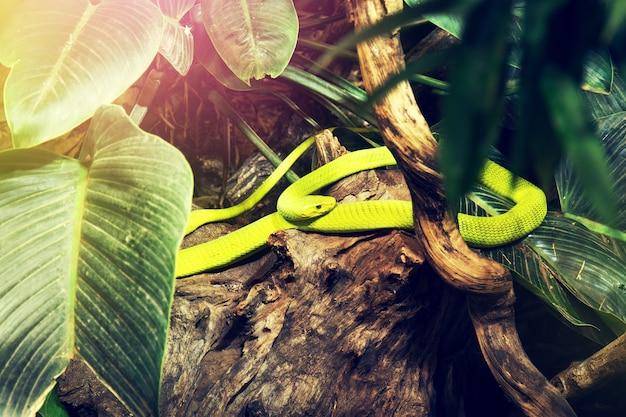 Dziki zielony wąż w dzikiej przyrody lasu dżungli. poziomy.