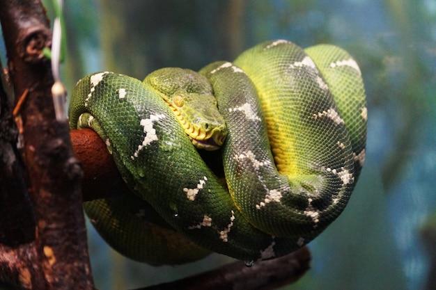 Dziki zielony wąż.