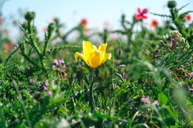 Dziki żółty tulipan zbliżenie w naturalnym zielonym polu z różnymi kwiatami i ziołami.