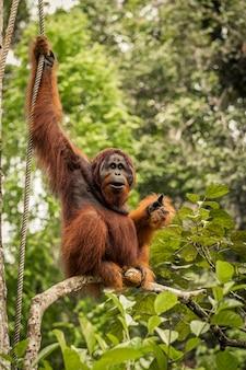 Dziki żywy dorosły samiec orangutan siedzi na gałęzi na borneo, malezja