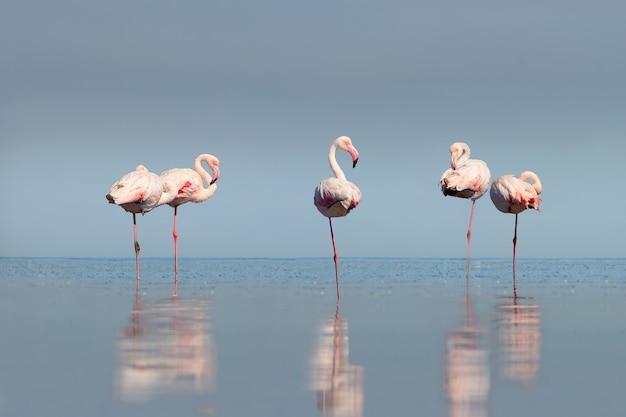Dzikie afrykańskie ptaki grupa różowych afrykańskich flamingów spacerujących po błękitnej lagunie w słoneczny dzień