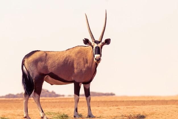 Dzikie afrykańskie zwierzę. samotny oryx idzie przez pustynię namib