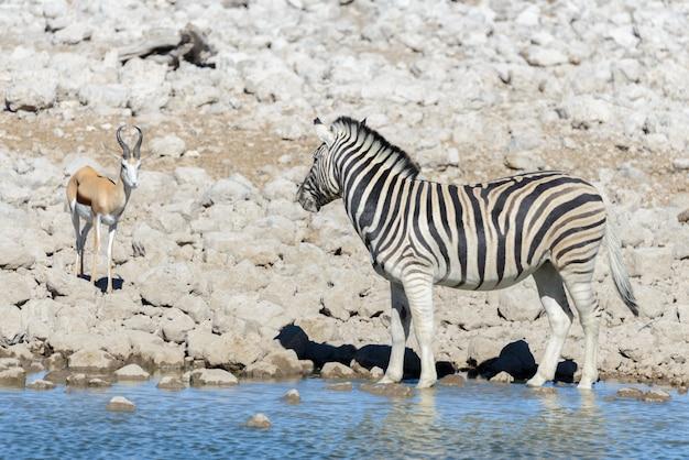 Dzikie afrykańskie zwierzęta -gnu, kudu, orix, antylopa, zebry woda pitna w wodopoju