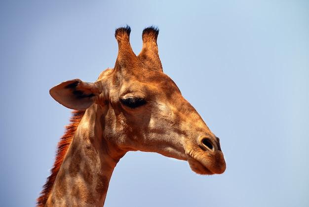 Dzikie afrykańskie życie. duża pospolita żyrafa południowoafrykańska na letnim niebie. namibia, afryka
