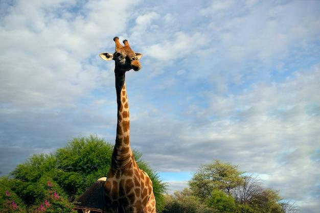 Dzikie afrykańskie życie. duża pospolita żyrafa południowoafrykańska na letnim niebie. namibia