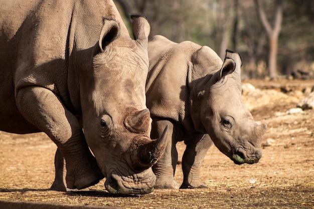 Dzikie afrykańskie życie. duże i małe afrykańskie nosorożce białe na sawannie w słoneczny dzień. namibia