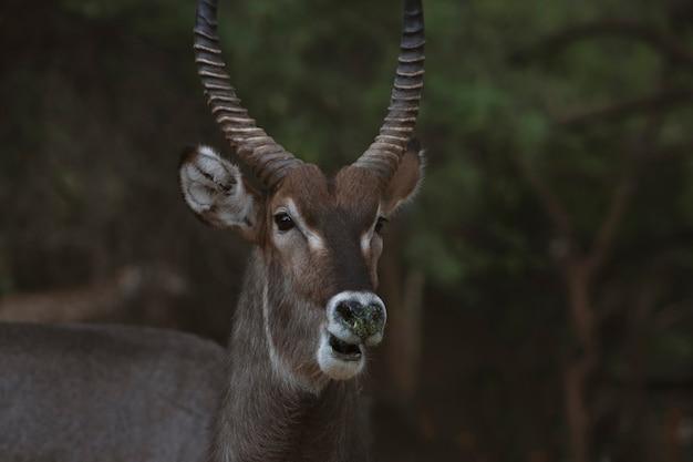 Dzikie afrykańskie życie zbliżenie słodkiego kozła wodnego patrzącego w kamerę i pozującego na sawannie