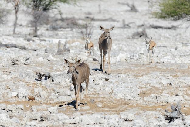 Dzikie antylopy kudu w afrykańskiej sawannie