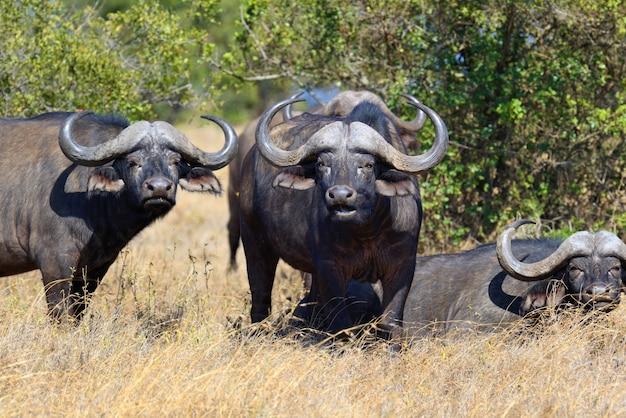Dzikie bawoły afrykańskie
