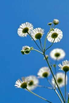 Dzikie białe kwiaty i błękitne niebo z niskiego punktu widzenia, płytkiej głębi pola