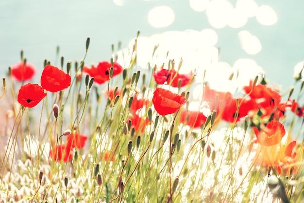 Dzikie czerwone maki na łące w słoneczny dzień. ozdobiony jasnymi plamkami.