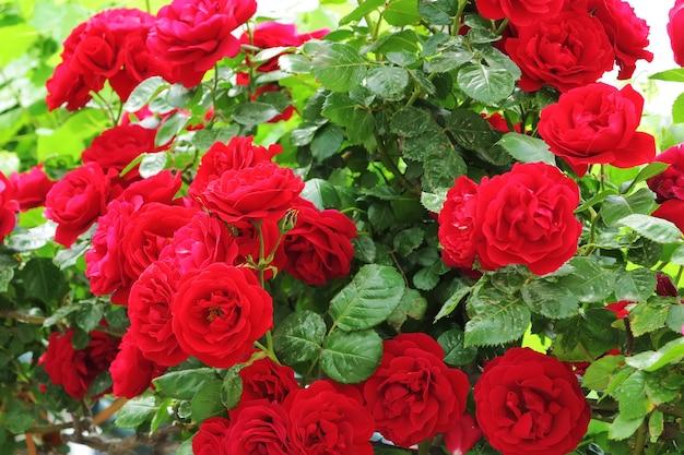 Dzikie czerwone róże